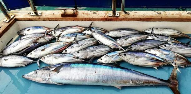 celý úlovek. Wahoo a tuňáci Bonito